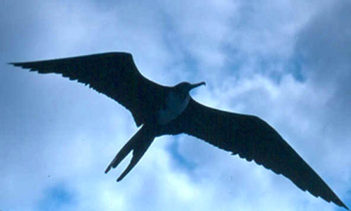 Galapagos-Islands-Frigate-Bird
