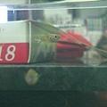 野生孔雀魚ˇ