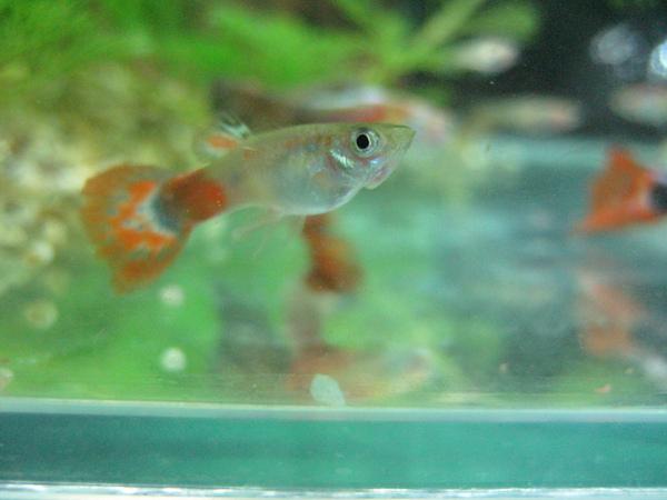 發色的小公魚