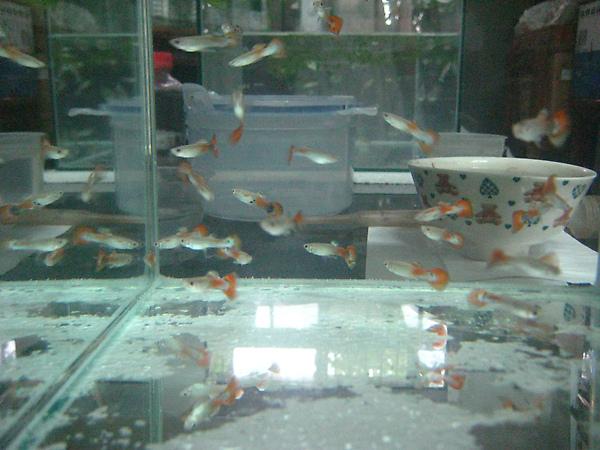 一堆亞成魚