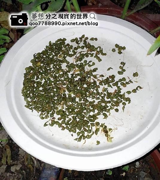 綠豆殼.jpg