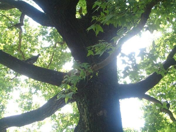 參天的大樹