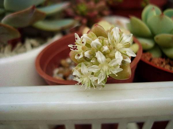 美樂蒂的花