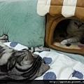2事實上感到的委屈的其實是QQ,因為她比較喜歡睡在棉被上,但是被胖子給佔據了又不想和胖子睡!只剩下我腳邊的空位,但很容易被我踢下去,所以只好窩進去。