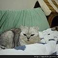 1Q妃:終於被我佔到了這個位置,今天任何一個貓都別想和我搶睡我娘旁邊,尤其是那個胖妃!XDD