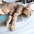 這母貓聽說前晚縱慾過度