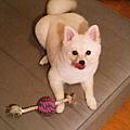 變成蠢蛋雪球了~沒看過柴犬的身體狐狸的臉,有夠白目的樣子....