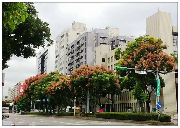 台北街頭欒樹