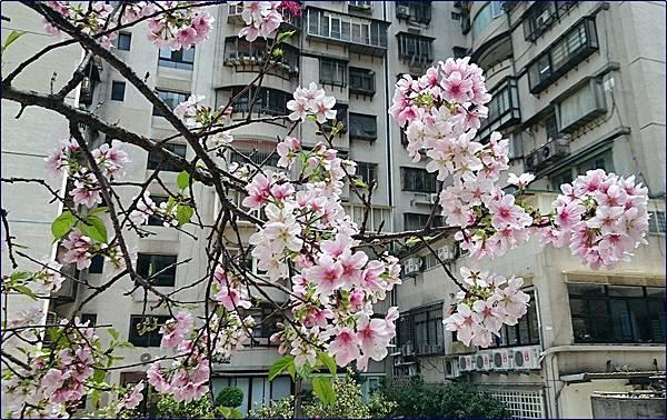 社區中庭櫻花