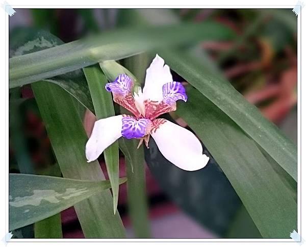 陽台鳶尾花
