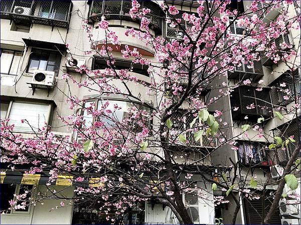 社區裡的櫻花