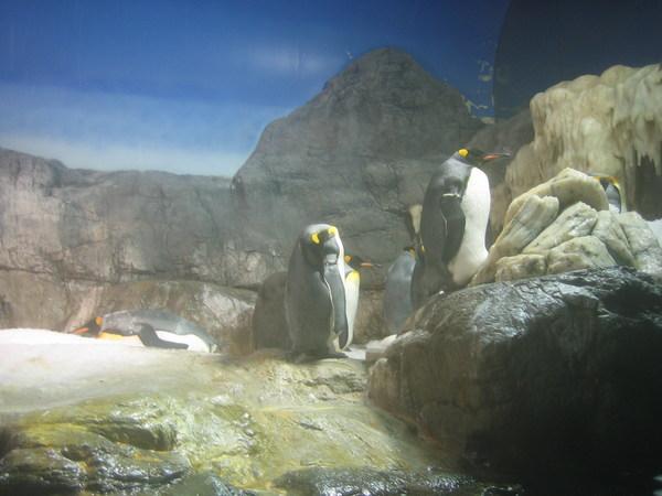 天保山海遊館_企鵝