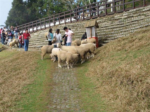 本來要去音樂城堡的...但是被羊群吸引...