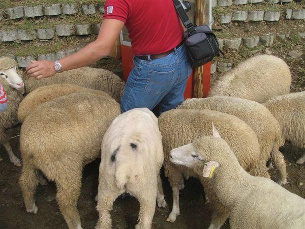 飼料機前都是羊咩咩