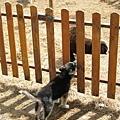 小牧羊犬...對著羊群旺旺叫