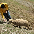 讓旺旺把貪吃的羊咩咩引上來 哈哈