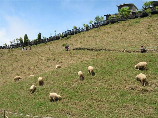 到處都有羊咩在吃草 還有咩咩叫