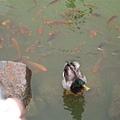 鴨子和鵝也可以和平共處喔