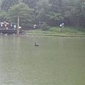 神秘的黑天鵝~總是和我們在相反方向!