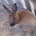 一隻不像兔子的兔子