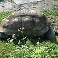 大  烏  龜~我忘記名子了