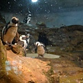 可惜木柵的企鵝不配合