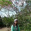 木柵的櫻花