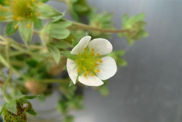 草莓的小白花