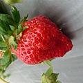 草莓都很大喔~也很香甜