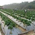 很多大草莓都被摘光了