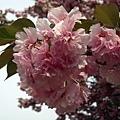 櫻花-2.jpg