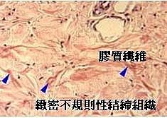 肌肉的深層筋膜