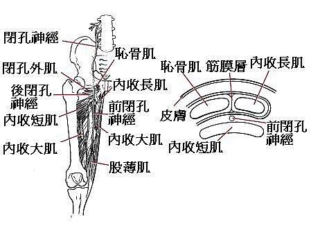 大腿內側痛