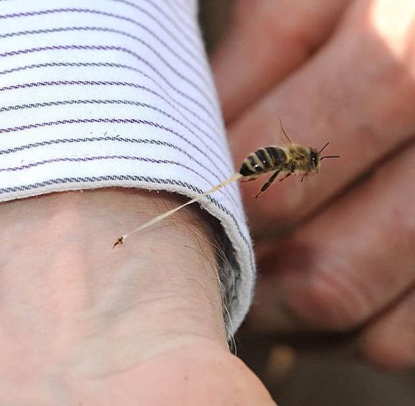 蜜蜂的最後一叮
