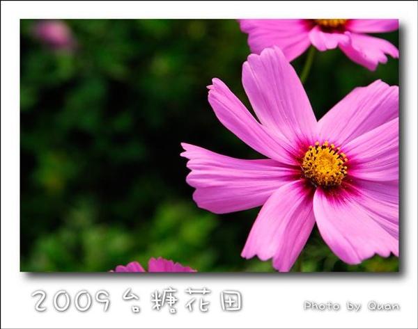 2009台糖花田0018.jpg