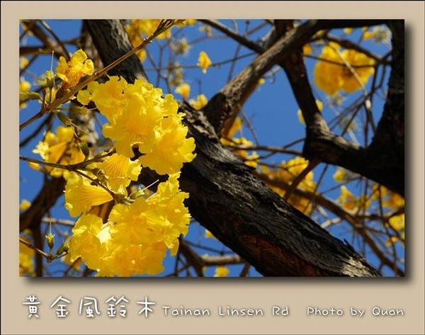 黃金風鈴木0004.jpg