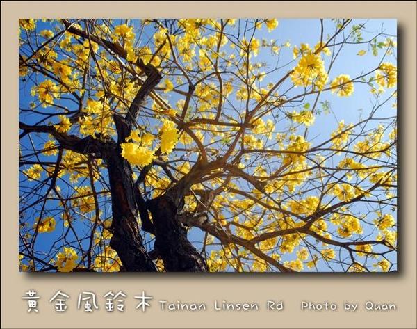 黃金風鈴木0006.jpg
