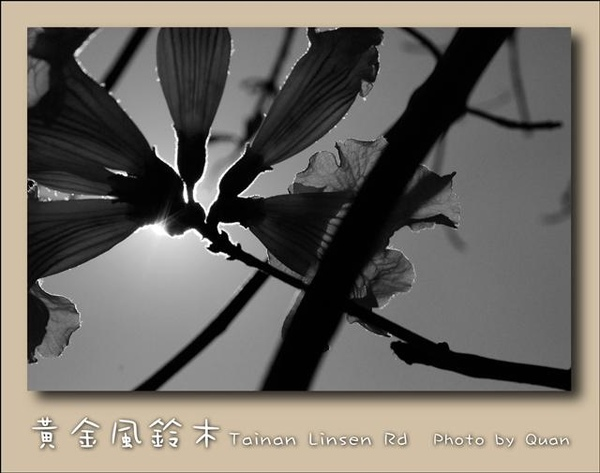 黃金風鈴木0015.jpg