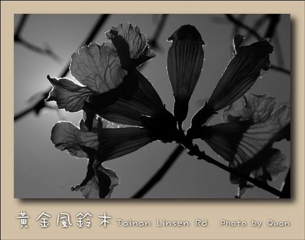 黃金風鈴木0016.jpg