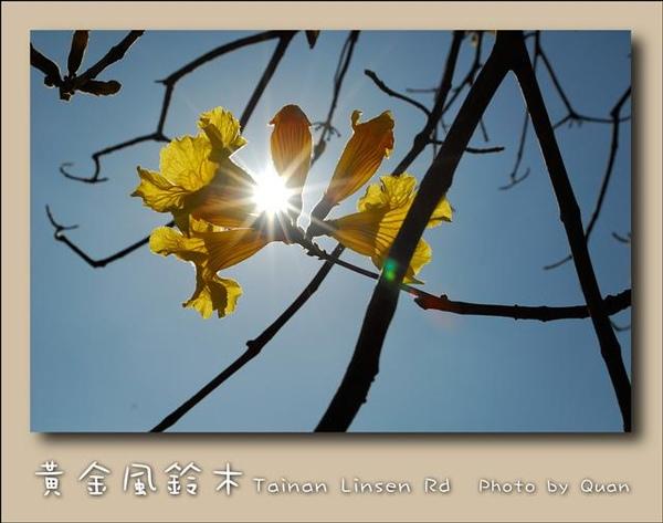 黃金風鈴木0018.jpg