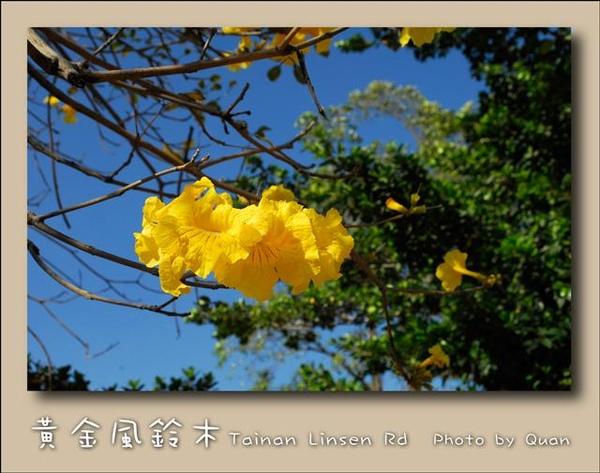 黃金風鈴木0019.jpg