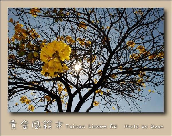 黃金風鈴木0020.jpg