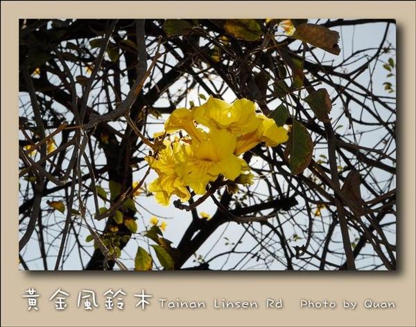 黃金風鈴木0022.jpg