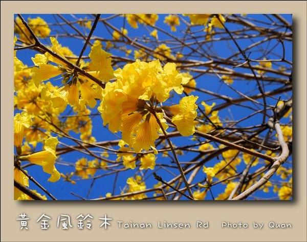 黃金風鈴木0026.jpg