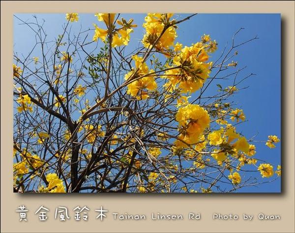 黃金風鈴木0032.jpg