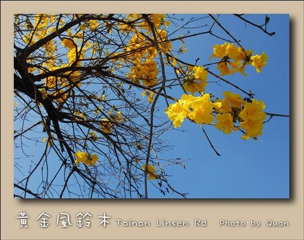 黃金風鈴木0033.jpg