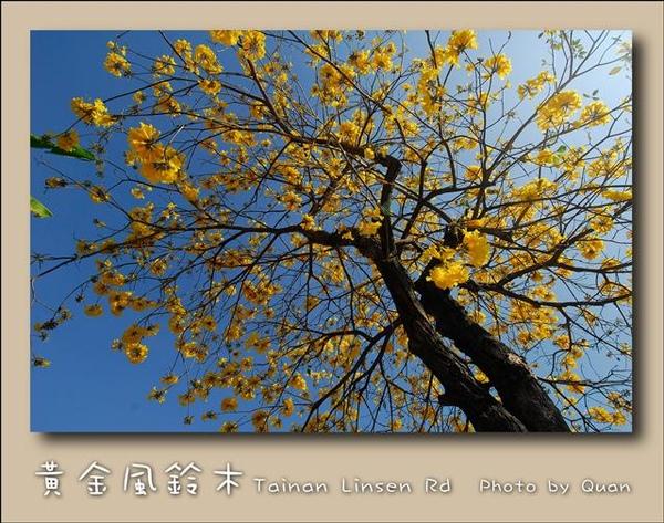 黃金風鈴木0036.jpg
