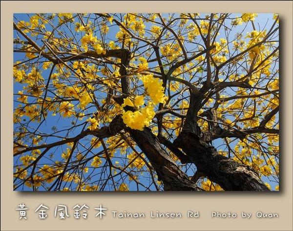 黃金風鈴木0038.jpg