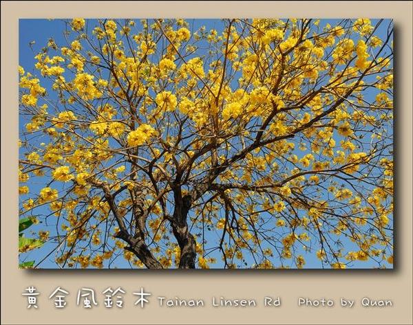 黃金風鈴木0041.jpg