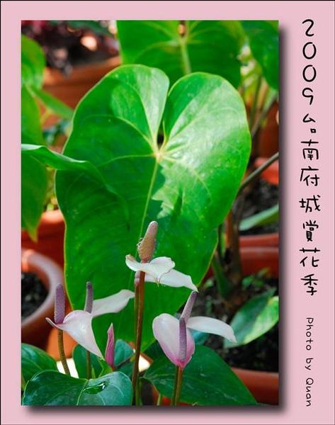 2009台南府城賞花季0049.jpg